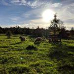 sheepsun-p3